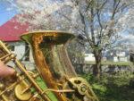 藤間知枝、日本舞踊稽古場の庭に満開に咲き誇る桜の下でサックス達が花見です。