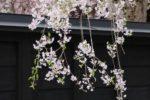 藤間知枝(藤友会)藤間知恵花、藤間一知華が角館のしだれ桜を背景に舞いました。
