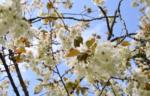 藤間知枝が、娘・孫達とふるさと「太田の黄桜まつり」に行きました。