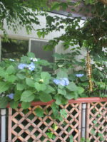藤間知枝「日本舞踊稽古場」竹垣の中、「額紫陽花」「ハーブ」が可憐に咲いています。