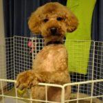 飯塚雅幸&藤間知枝の家族の犬「チョコ」が床屋に行きトリミングし大変身です。