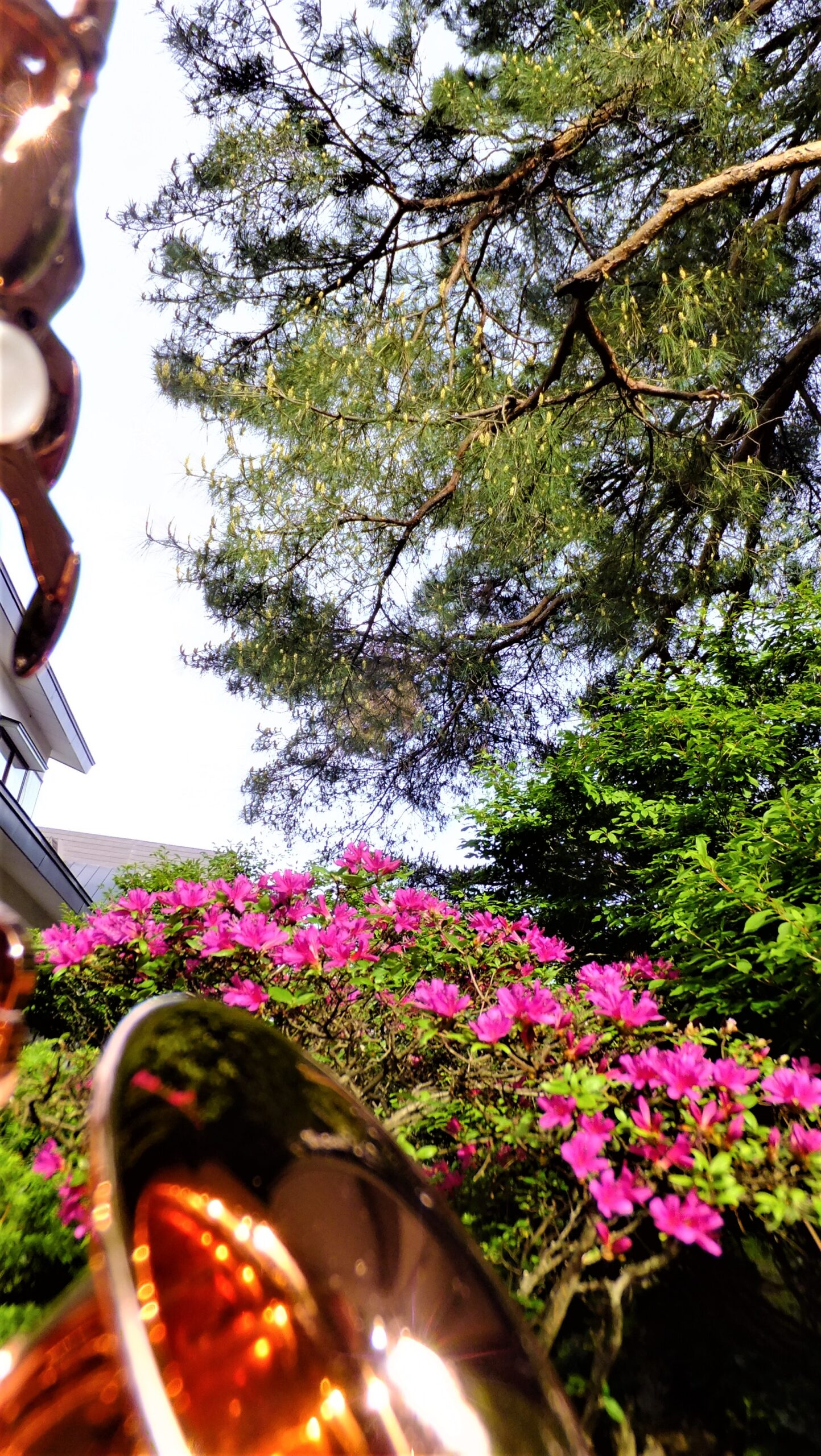 飯塚雅幸&藤間知枝自宅入り口「門被り(もんかぶり)の松」です。